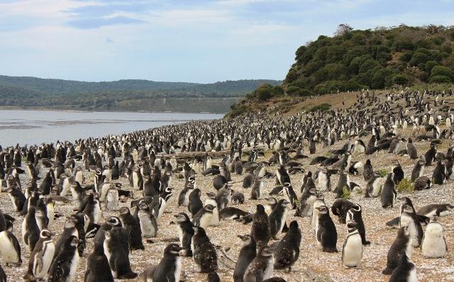 Pinguinera-isla-Martillo-Ushuaia