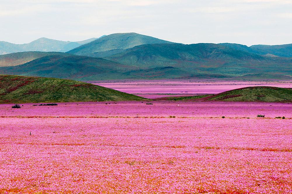 Desierto Florido en Chile cundo y dnde verlo  Blog Denomades  Informacin y gua de viajes qu hacer ver y visitar