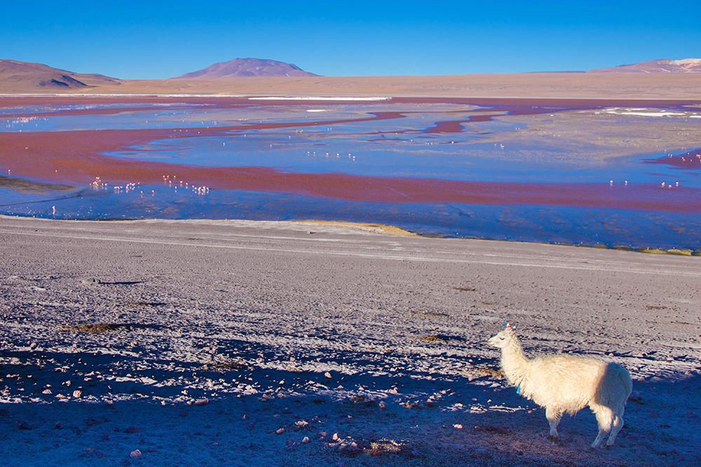 Llama y laguna colorada en el paisaje altiplánico
