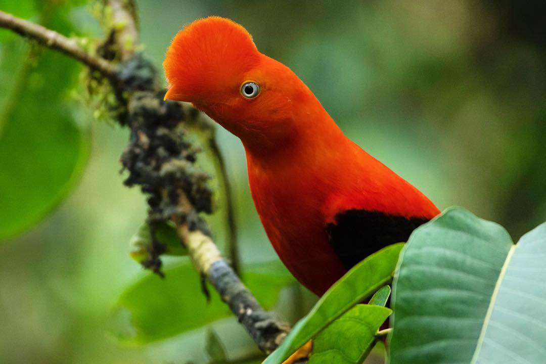 Ave extraña roja en la selva