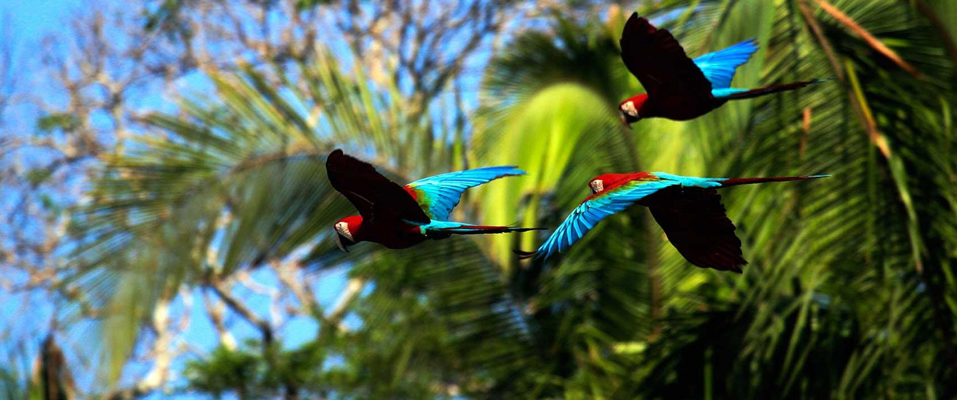 Loros volando por la selva en el parque nacional del manu
