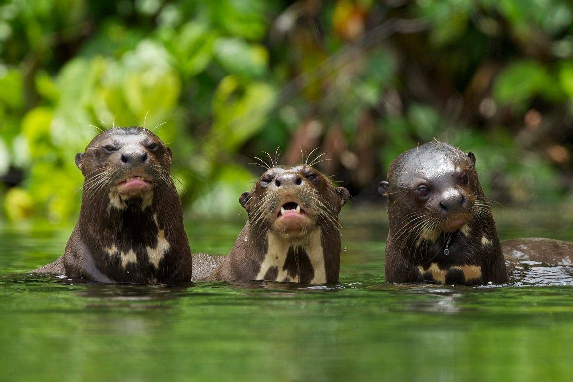 lobos de rio en la selva del manu