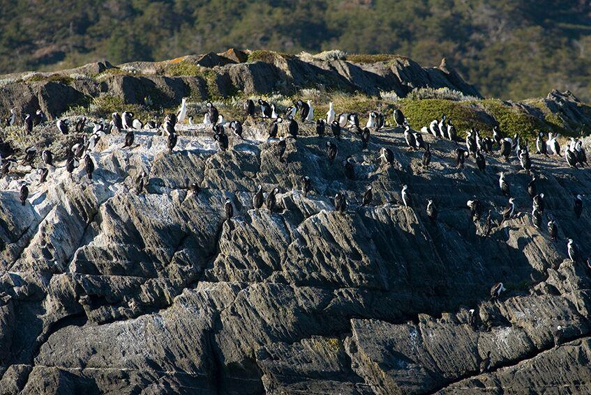Parede de cormoranes no sul do chile