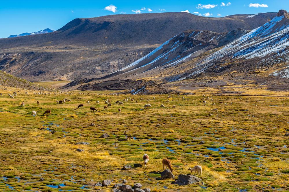 Llamas en paisaje montañoso en uno de los lugares turísticos de arequipa