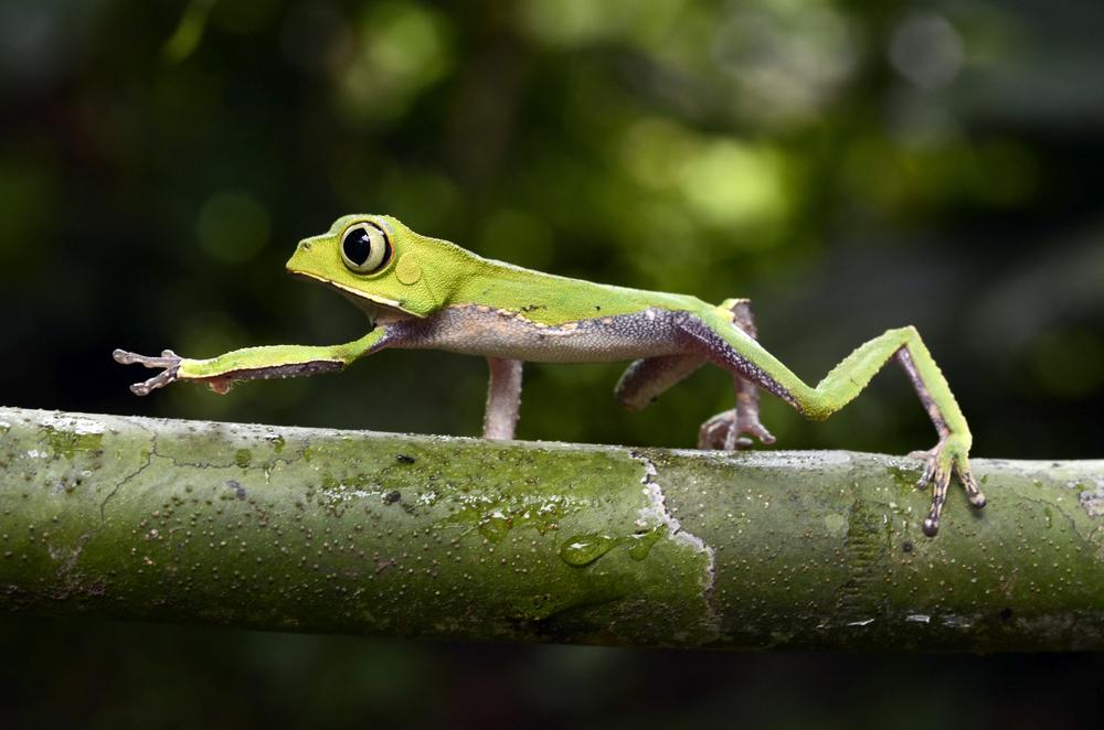 Ranita verde cruzando sobre la vegetación