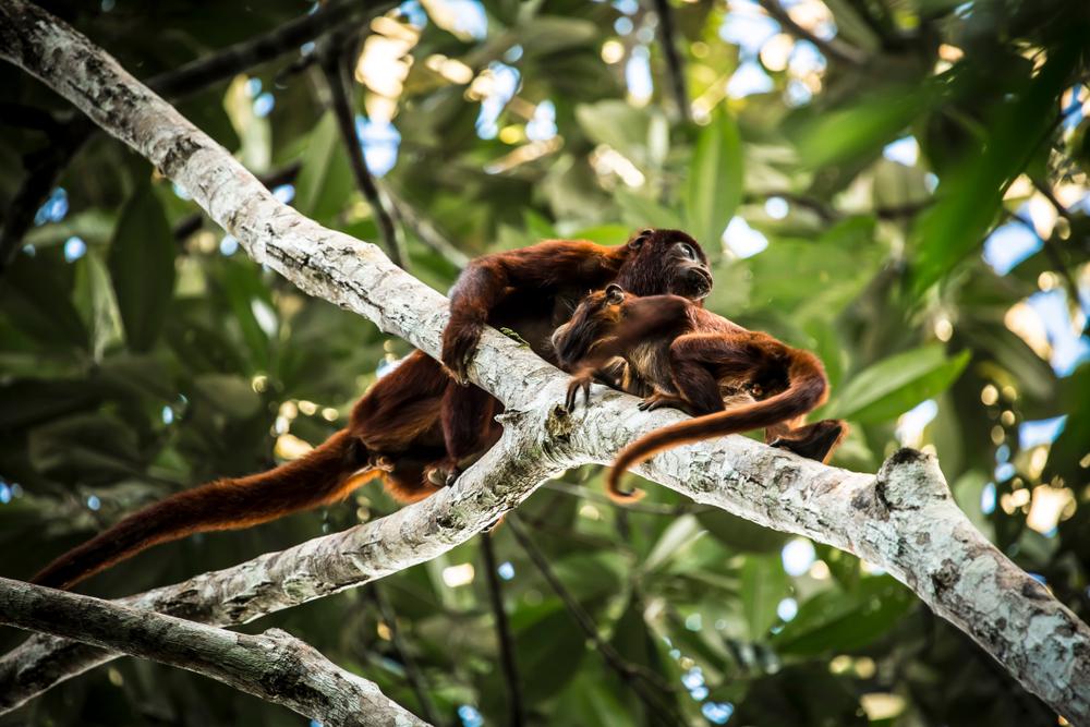 Monos en los árboles de la selva de iquitos
