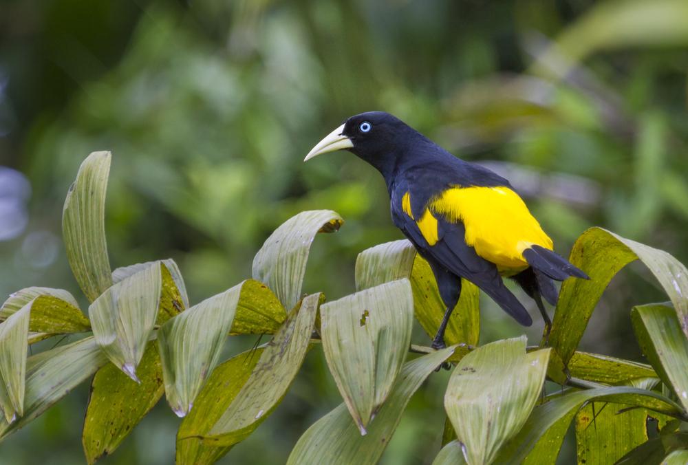 Ave de colores azules y amarillos en amazonas peruano