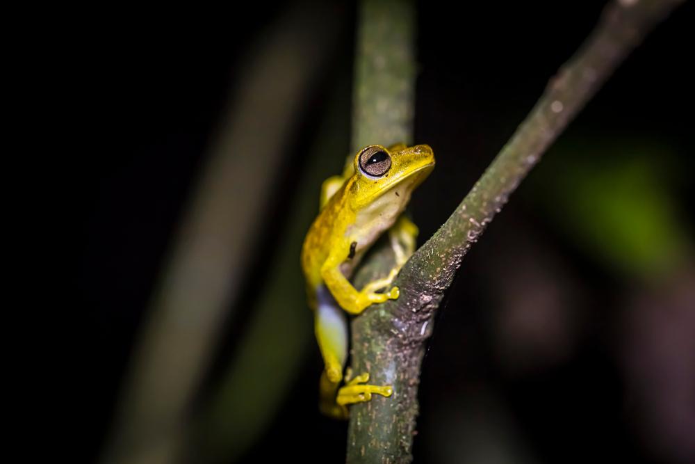 Ranita amarilla común en una rama