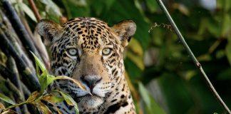 Jaguar sentado en un árbol en tambopata