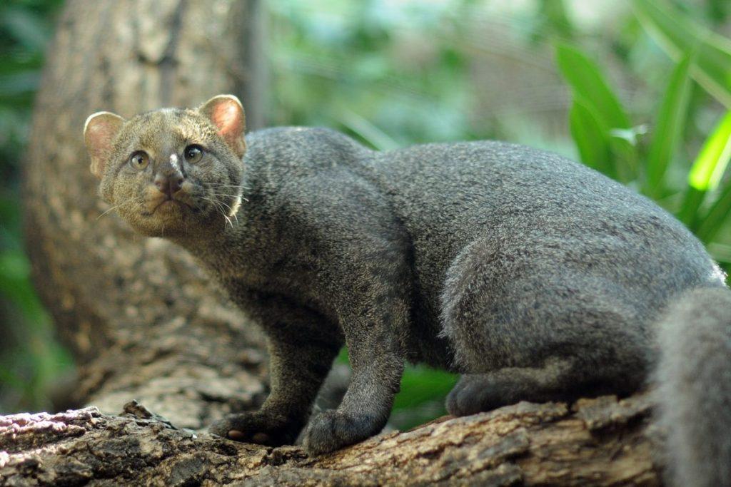 Pequeño felino llamado jaguarandi en un árbol