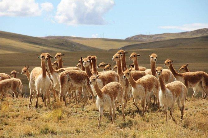 Grupo de vicuñas en medio de la pampa en Ayacucho
